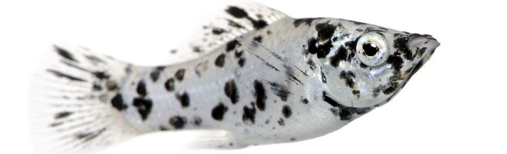 dalmatian molly fish e1580479437480