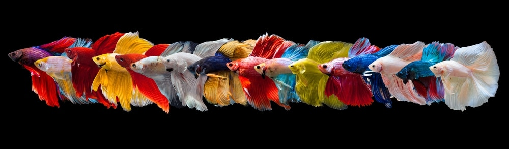 different betta fishes
