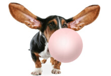 What Happens if a Dog Swallows Chewing Gum?