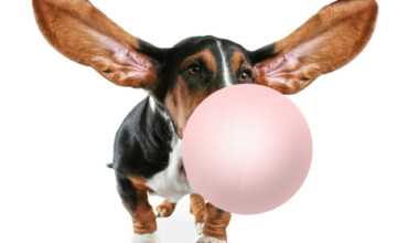dog chewing gum