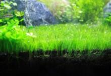 How to Grow Dwarf Hair Grass