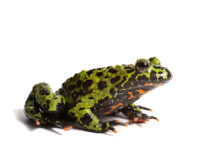 Fire Belly Toad Care Guide & Info