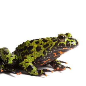 Fire Belly Toad - Care Guide & Info