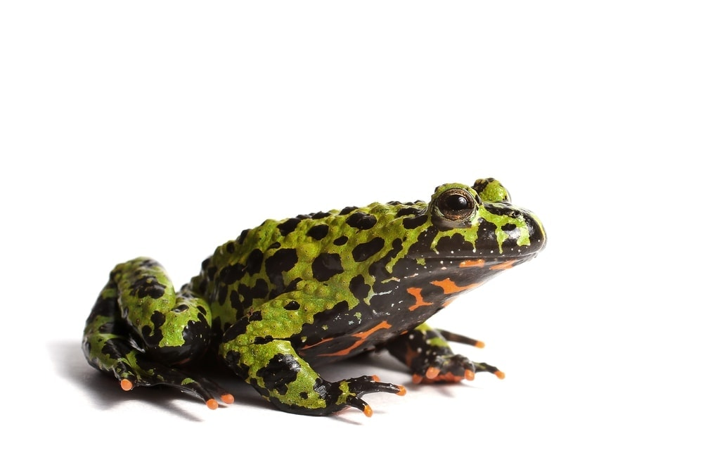 fire belly frog