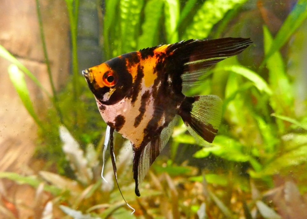 freshwater angelfish 1