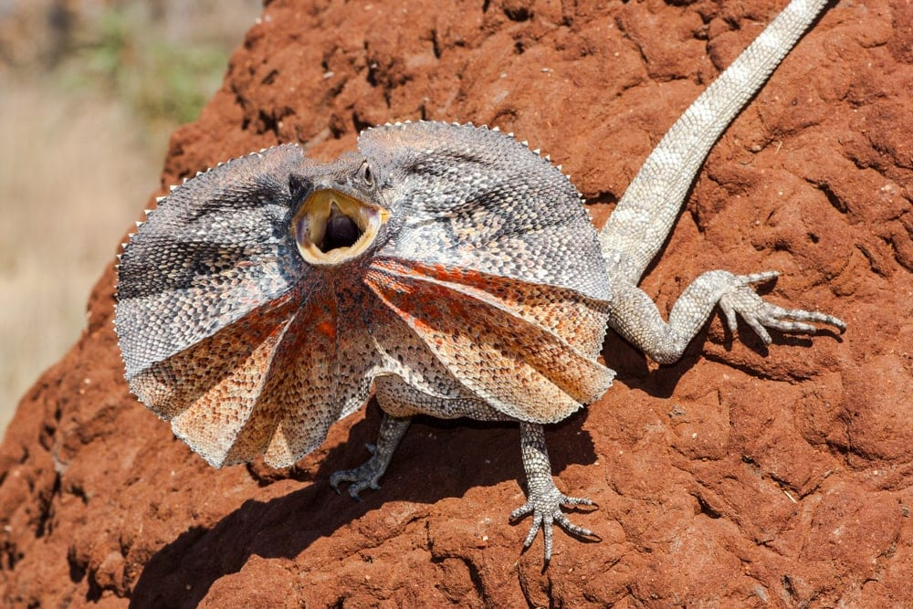 frilled lizard sand