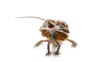 frilled lizard white bg