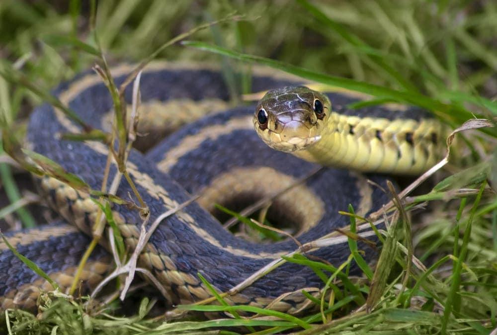garter snake grass