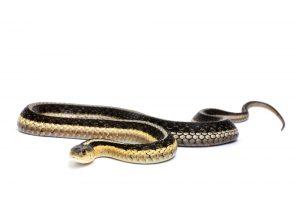 garter snake white bg
