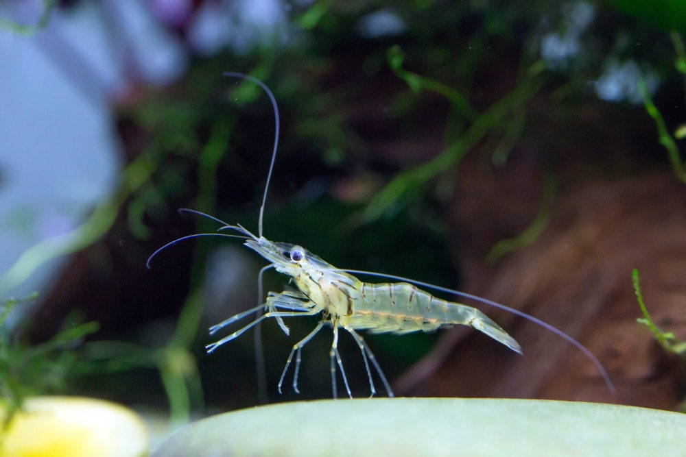 ghost shrimp in aquarium