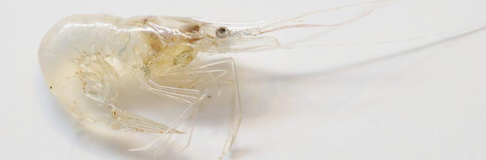 ghost shrimp white background e1578778163564