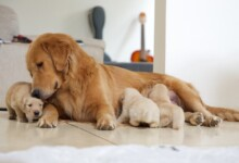 How Long can Birthing Last for Dogs?