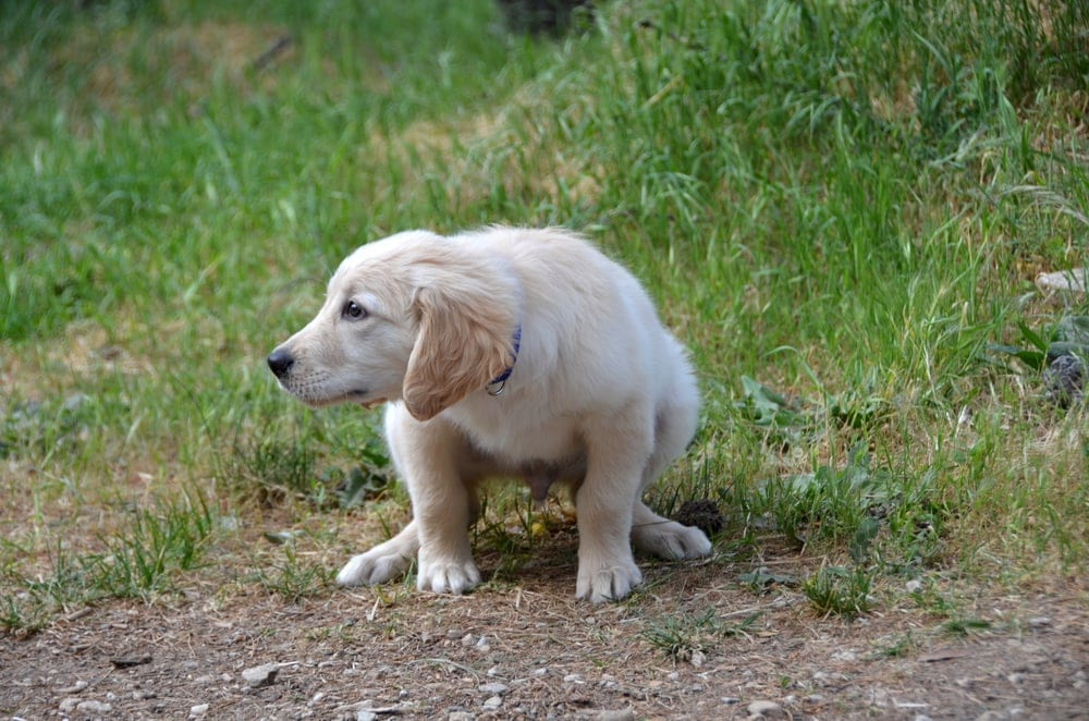 golden puppy pee