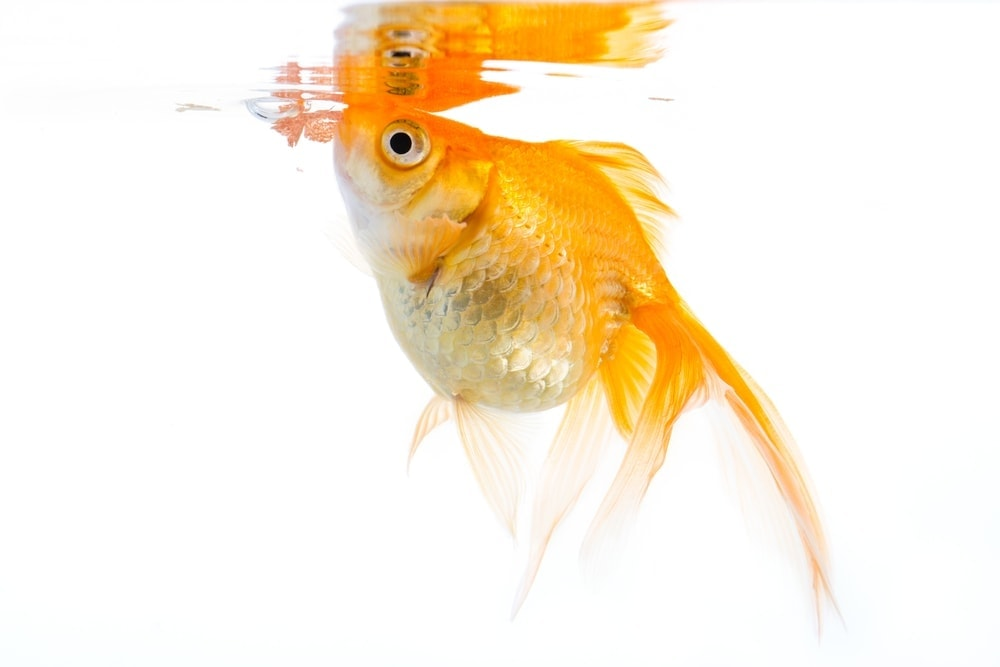 goldfish eating