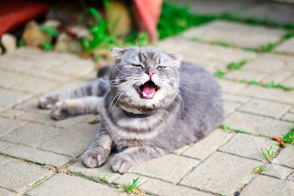 gray cat sneeze
