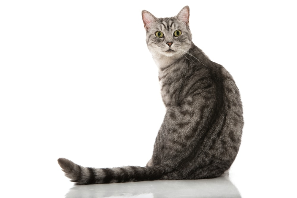 gray tabby cat