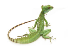 Basilisk Lizard Care Guide - Diet, Lifespan & More