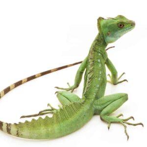 Basilisk Lizard - Care guide & info