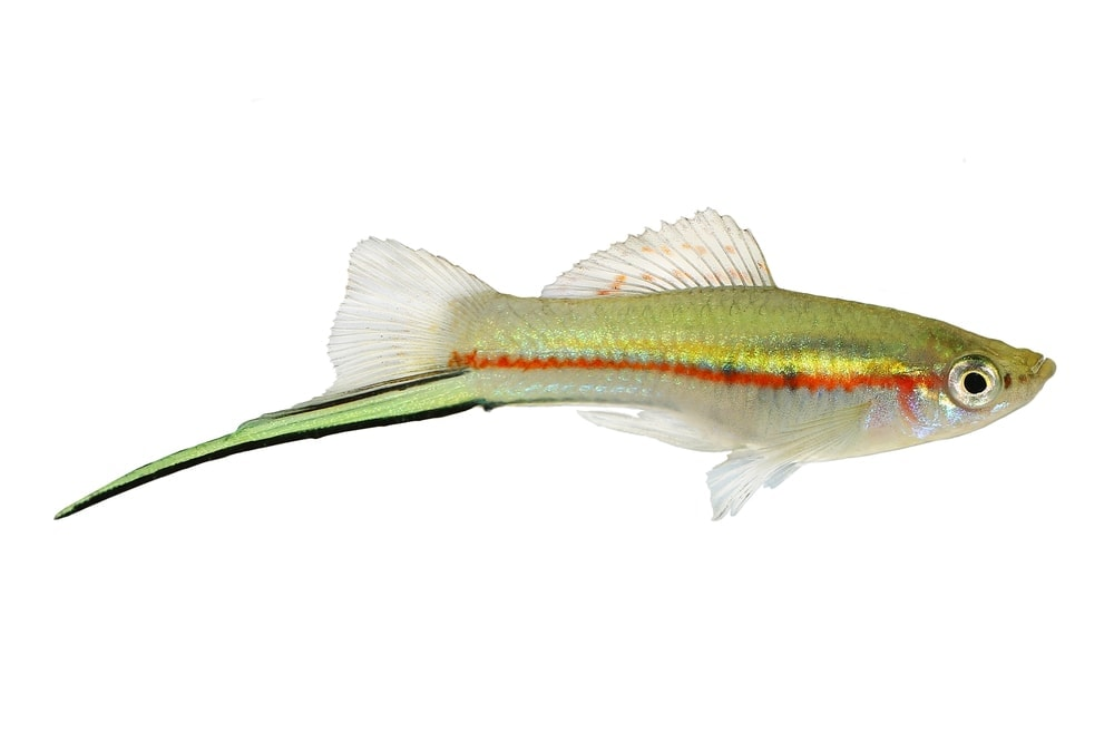 green swordtail