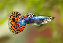 Guppy Care Guide - Requirements & Breeding