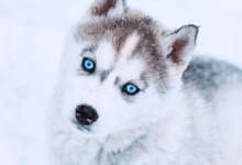 When Will my Puppy's Eye Color be Permanent?