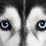 Do Dogs Have Multiple Sets of Eyelids?