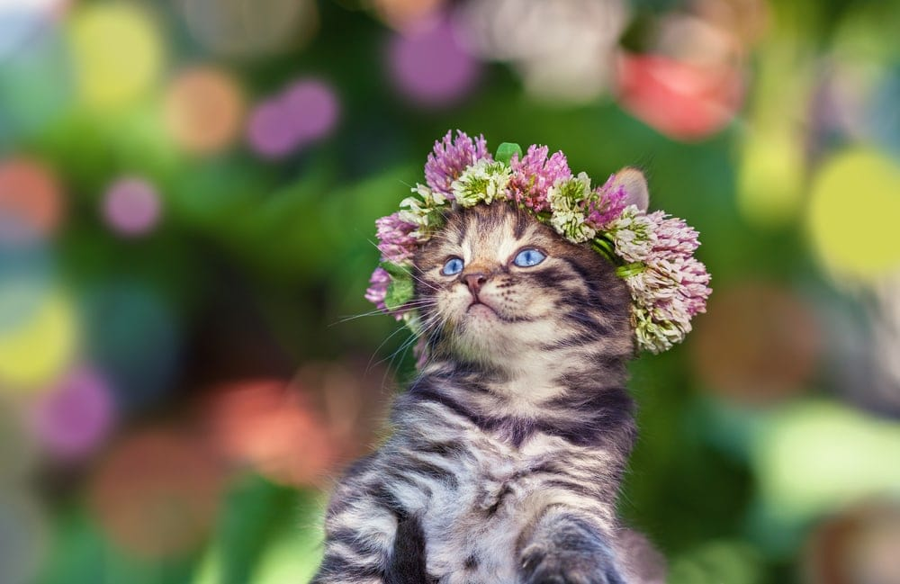 kitten midsummer