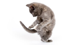 Why Do Cats Chase Their Own Tail?