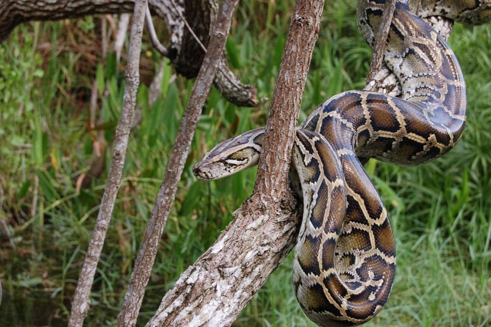 large burmese python
