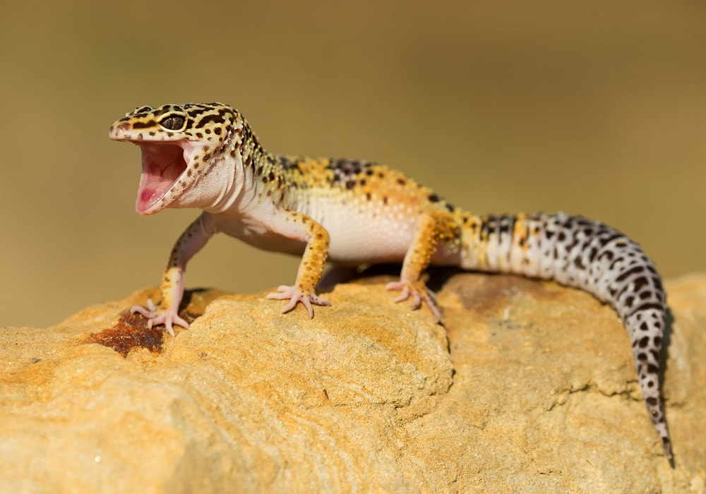 leopard gecko mouth open