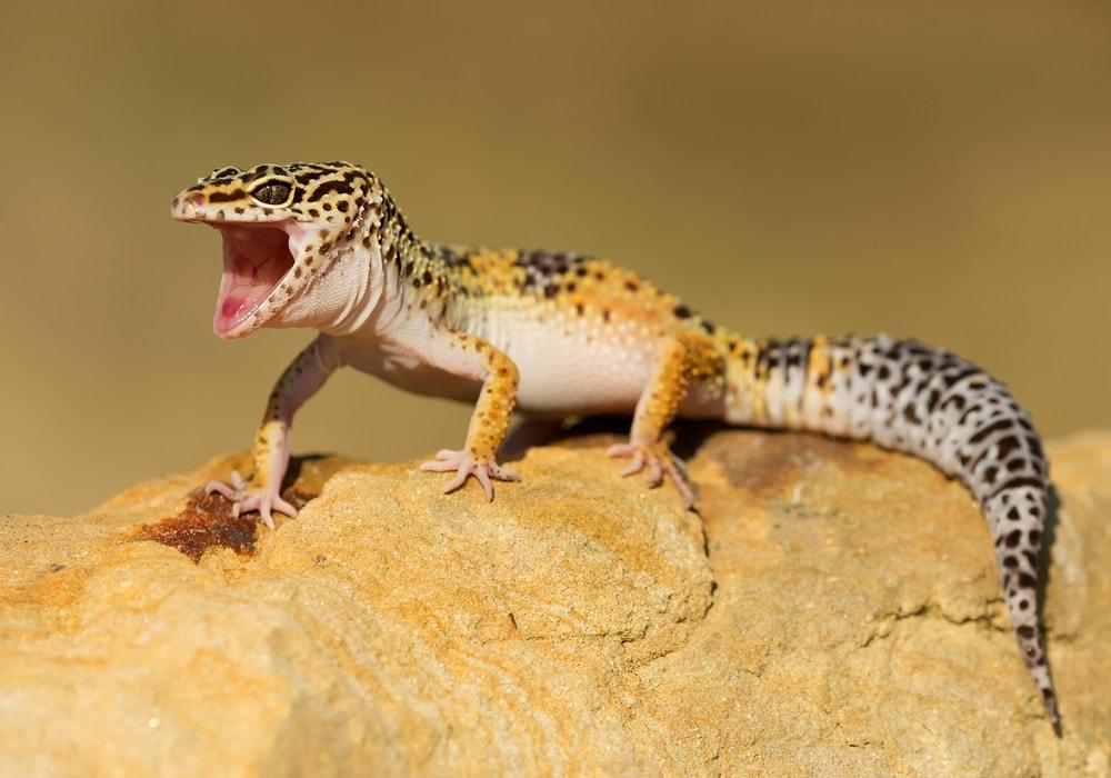 leopard gecko mouth open