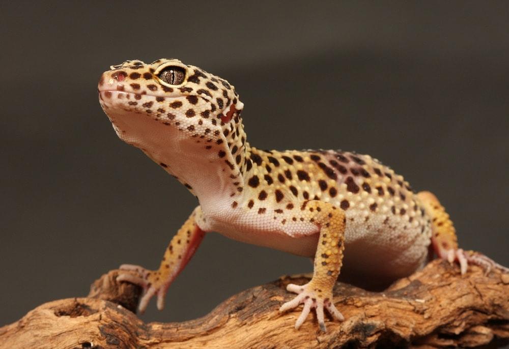 leopard gecko sand