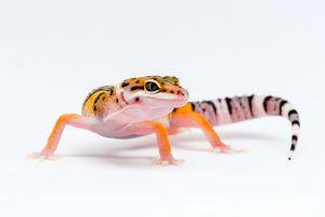 leopard gecko white bg