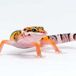 Leopard Gecko Breeding & Info