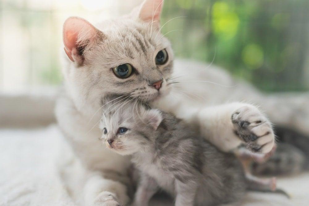 mother kitten