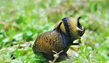 nerite snail aquarium 1