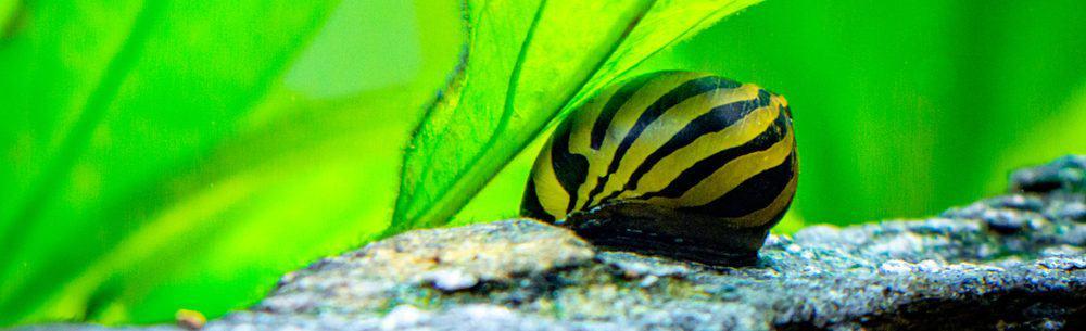 nerite snail green leaves e1578779007758