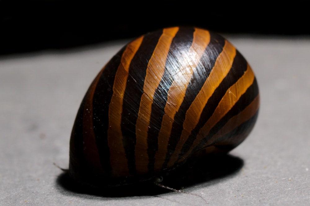 nerite snail grey background