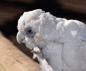 old parrot 1