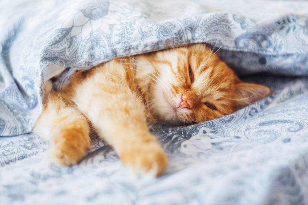 orange cat in bed