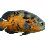 Oscar Fish Care Guide & Diet, Breeding & More