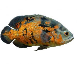 oscar fish white bg