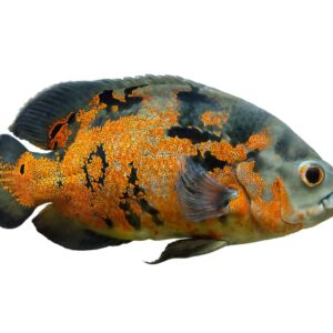 Oscar Fish - Care guide & Information