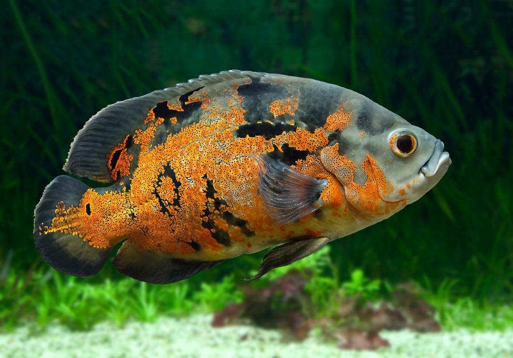 oscarfish 1