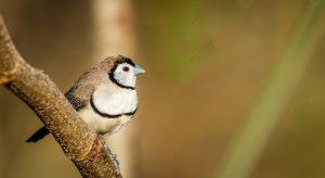 owl finch tree