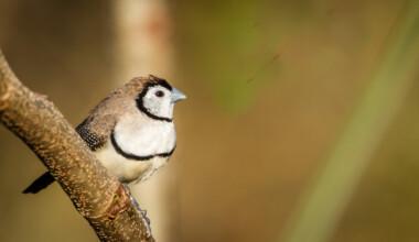 owl finch sitting in tree