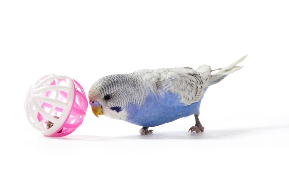 parakeet ball