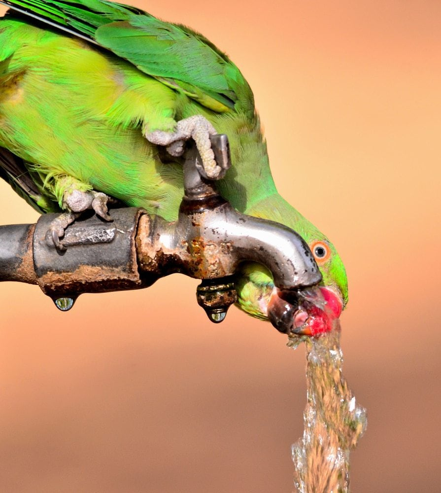 parakeet drinking water