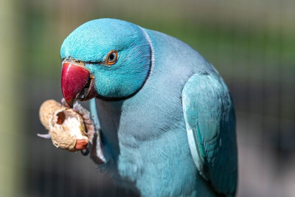 parakeet eating 2