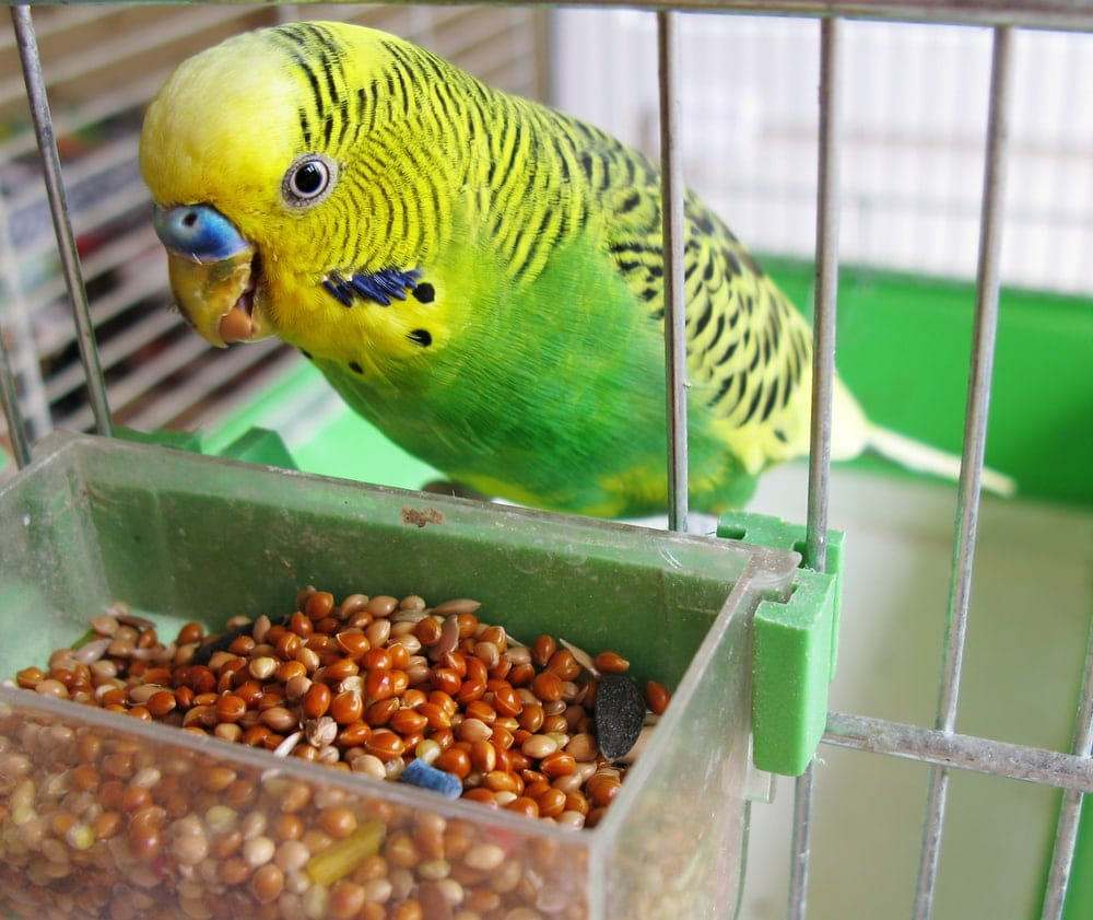 parakeet eating in cage
